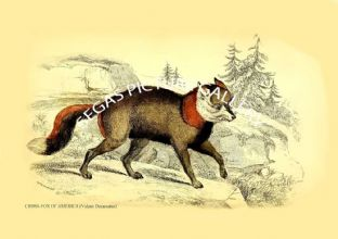 CROSS-FOX OF AMERICA (Vulpes Decassatus)
